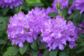 Rhododendron roseum elegans medium size hybrid evergreen shrub with large trusses of rose lilac flowers this thrives in cooler Stock Images