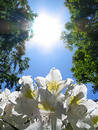 Rhododendron & Sun Royalty Free Stock Photo