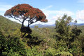 Rhododendron tree lonely in the horton plains national park sri lanka Stock Photos
