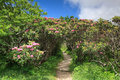 Rhododendron Tunnel Craggy Blue Ridge Parkway Stock Image
