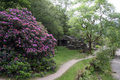 Rhododendrons on path near Beddgelert Stock Photo