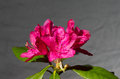 Rhododendrum from my garden taken at midday Royalty Free Stock Images