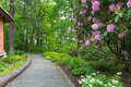 Rhodoendron Flowers in Bloom along Garden Path Royalty Free Stock Photo