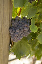 Rhone grapes a large bunch of on the vine Royalty Free Stock Photography