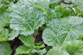 Rhubarb fresh growing in a garden Royalty Free Stock Photography