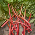 Rhubarb image of fresh stems of straight from the garden vegetable patch Stock Photos