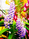 Rhynchostylis coelestis beautiful violet orchid flowers Stock Images