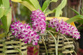 Rhynchostylis gigantea Royalty Free Stock Photos
