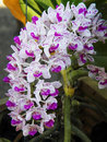 Rhynchostylis gigantea close up flower Royalty Free Stock Photo