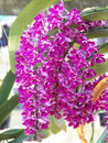 Rhynchostylis gigantea close up flower Stock Photography