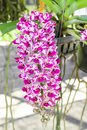 Rhynchostylis gigantea orchid flower magenta and white in a farm Royalty Free Stock Photography