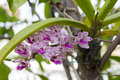 Rhynchostylis gigantea orchid the species flower of thailand Royalty Free Stock Photos