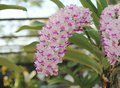 Rhynchostylis gigantea orchids flowers bloom in spring adorn the beauty of nature. Royalty Free Stock Photo