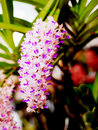 Rhynchostylus gigantea the fragrant orchid flowers with violet color Royalty Free Stock Photography