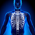 Rib cage sternum anatomy bones medical imaging Stock Photo