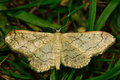 Riband wave moth (Idaea aversata) Royalty Free Stock Photo