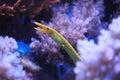 Ribbon eel Royalty Free Stock Photo