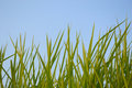 Rice against the blue sky in thailand Royalty Free Stock Photography