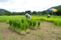 Rice cultivation in loei thailand Royalty Free Stock Photos