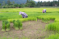 Rice cultivation in loei thailand Royalty Free Stock Photography