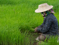 Rice cultivation in loei thailand Royalty Free Stock Image