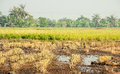 In rice cultivation often cultivated the countryside Stock Photography