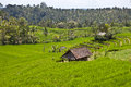 Rice farm in Bali Royalty Free Stock Photography