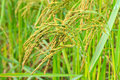 Rice in farm the green Royalty Free Stock Image