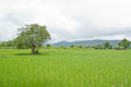 Rice fiel green terraced in thailand Royalty Free Stock Images