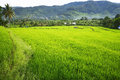 Rice field in asia located in indonesia Stock Photography
