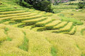 Rice field in asia located in indonesia Royalty Free Stock Photos