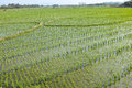 Rice field the background of green Royalty Free Stock Photos