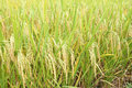Rice field the background of mature Royalty Free Stock Photo