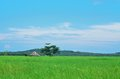 Rice field , blue sky Stock Photo