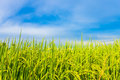 Rice field with the blue sky Royalty Free Stock Photo