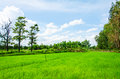 Rice field blue sky landscape background Royalty Free Stock Image