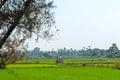 Rice field in burma hut a inwa ava myanmar Royalty Free Stock Photo