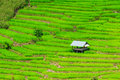 Rice field in chiang mai province of thailand Stock Photos