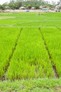 Rice Field in Cu Lao Cham Island Royalty Free Stock Photography