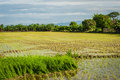 Rice field in early stage at thailand Royalty Free Stock Photos