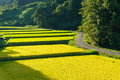 Rice field farm in Japanese countryside Royalty Free Stock Photo