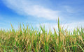Rice field green grass blue sky and Stock Photography