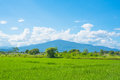 Rice field green grass blue sky landscape Royalty Free Stock Photo