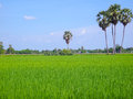 Rice field green grass in thailand Royalty Free Stock Photo