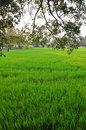 Rice field green in thailad Stock Image