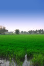 Rice field green in thailad Stock Photo