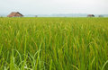 Rice Field in Luang Namtha Royalty Free Stock Photo