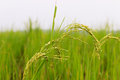 Rice field lush green details Stock Photography