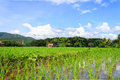 Rice field at noon green under blue sky Royalty Free Stock Photos