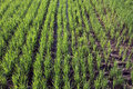Rice field paddy texture/background in rows Royalty Free Stock Photo